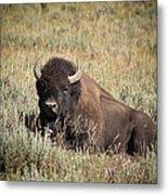 Big Buff - Bison - Buffalo - Yellowstone National Park - Wyoming Metal Print