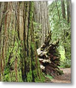 Big California Redwood Tree Forest Art Prints Metal Print