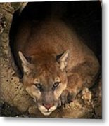 Big Cats In Ohio. No.17 Metal Print