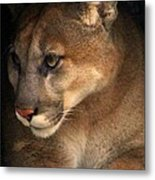 Big Cats In Ohio. No.20 Metal Print