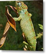 big chameleon of Madagascar 20 Metal Print