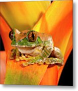 Big Eye Treefrog, Leptopelis Metal Print