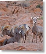 Big Horn Group Pose Metal Print