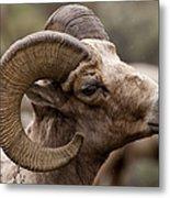 Big Horn Ram   #1503 Metal Print
