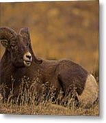 Big Horn Ram   #4452 Metal Print