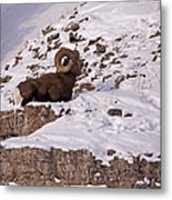 Big Horn Ram   #7036 Metal Print