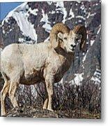 Big Horn Ram In Spring Metal Print