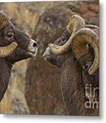 Big Horn Rams   #4989 - Signed Metal Print
