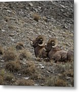 Big Horn Rams   #9157 Metal Print