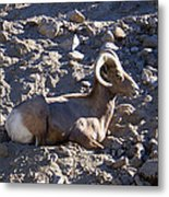 Big Horn Sheep Close Up Metal Print