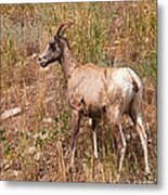 Big Horn Sheep Ewe Metal Print