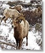 Big Horn Sheep In The Snow Metal Print