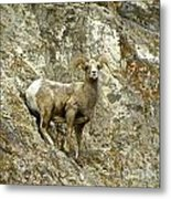 Big Horn Sheep On Mountain Metal Print