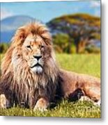 Big Lion Lying On Savannah Grass Metal Print
