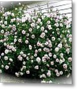 Biggest Rose Bush Ever Metal Print
