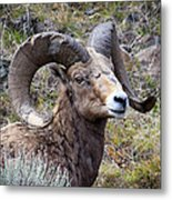Bighorn Battle Scars Metal Print