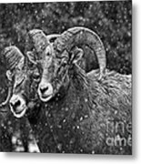 Bighorn Brothers In Grey Colorized Metal Print