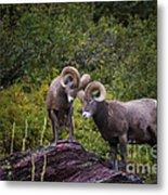 Bighorn Ram 4 Metal Print