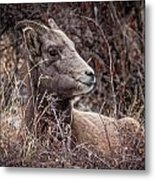 Bighorn Sheep 2 Metal Print