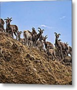 Bighorn Sheep At Blue Mesa Reservoir Metal Print