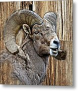 Bighorn Sheep Barnwood Metal Print