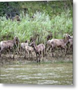 Bighorn Sheep Ovis Canadensis On Bank Metal Print