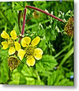 Bigleaf Avens Along Skunk Cabbage Trail In Mount Revelstoke National Park-british Columbia    Metal Print