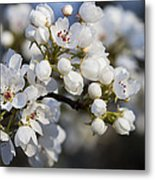 Billows Of Fluffy White Bradford Pear Blossoms Metal Print