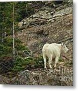 Billy Goat 4 Metal Print
