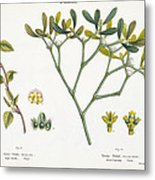 Birch And Mistletoe Metal Print