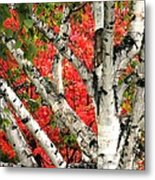 Birch Eclipsing Maple Metal Print
