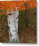 Birch In Autumn Metal Print