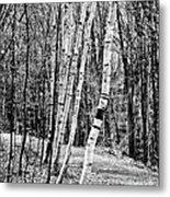 Birch Sentinels Metal Print