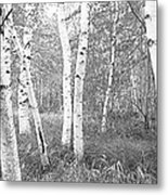 Birch Trees In A Forest, Acadia Metal Print