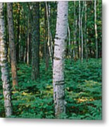 Birch Trees In A Forest Metal Print