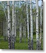 Birch Trees In A Grove No. 0148 Metal Print