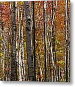 Birch Trees In Autumn Metal Print