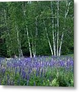 Birches In The Blue Lupine Metal Print