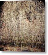 Birches In Winter Metal Print
