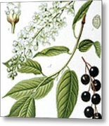 Bird Cherry Cerasus Padus Or Prunus Padus Metal Print