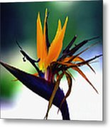 Bird Of Paradise Flower - Square Metal Print