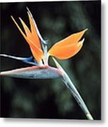 Bird Of Paridise Metal Print