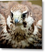 Bird Of Prey Flying Metal Print
