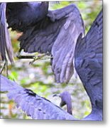 Birds - Fighting - Herons Metal Print