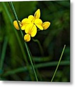 Bird's-foot Trefoil Metal Print