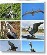 Birds - Pelicans - Boxed Cards Metal Print