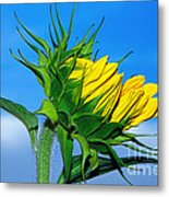 Birth Of A Sunflower By Kaye Menner Metal Print