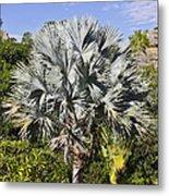 Bismarck Palm  Bismarckia Nobilis Metal Print