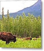 Bison Along Alaska Highway In British Columbia-canada Metal Print