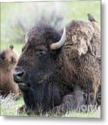 Bison And Birds Metal Print
